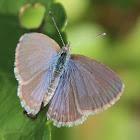 Common Grass Blue