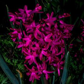 Flower Cluster by Scott Morgan - Flowers Single Flower ( pink flower, cluster, pink, garden, natural,  )