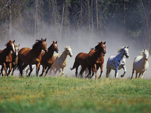 Amazing Horses Live Wallpaper