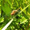 Dragonfly Black Darter