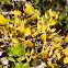 Leafy Mistletoe