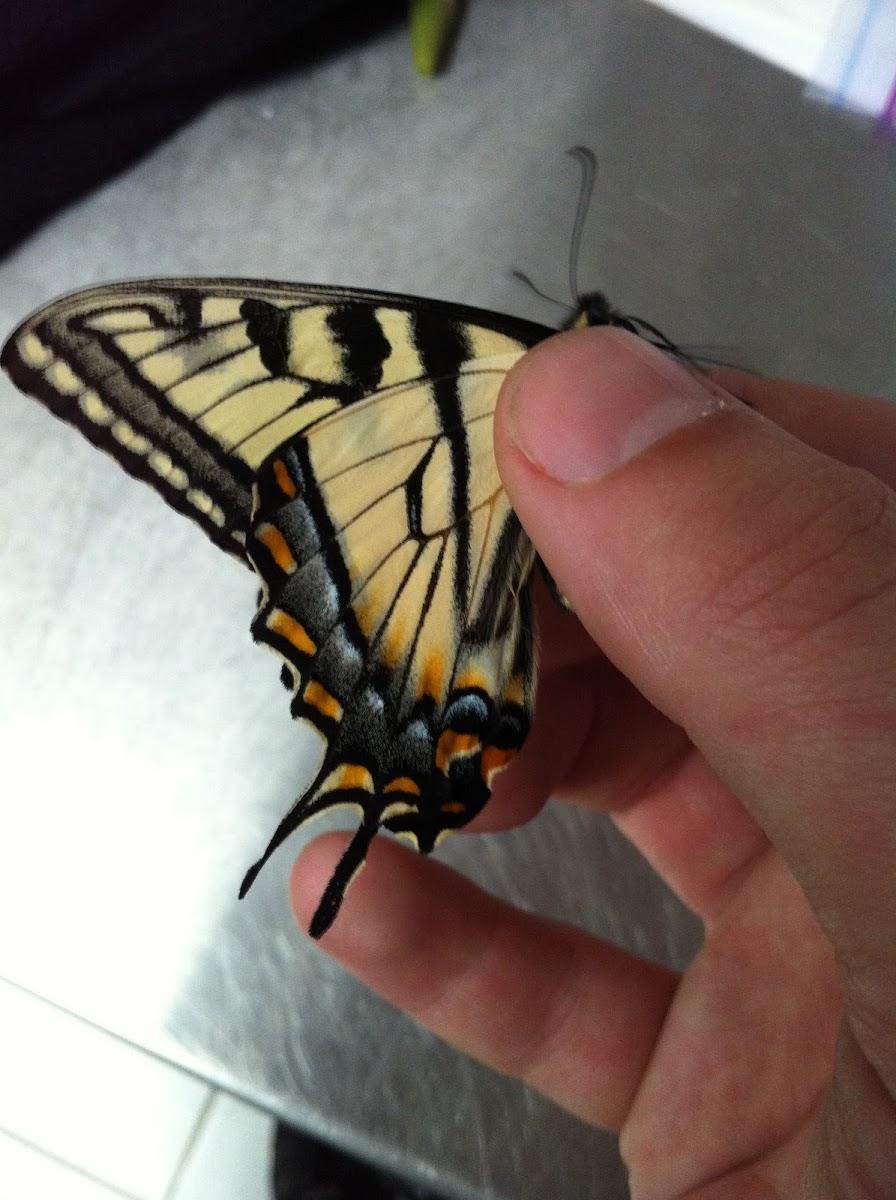Canadian tiger swallowtail