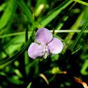 Nakedstem Dewflower