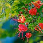 Mexican Bird of Paradise