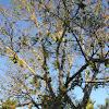 Cluster Fig Tree or Goolar Fig