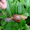 Giant African land snail 非洲大蝸牛