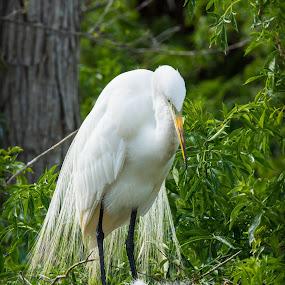 Great Egret Nesting by Jakub Jasinski - Animals Birds ( bird, american egret, florida, nesting chick, great egret )