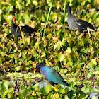 Purple Gallinule and Common Gallinule