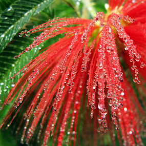 After rain by István Decsi - Flowers Single Flower ( water, red, green, drops, flower, rain,  )