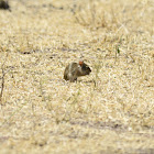 Rat - Woodland Thicket Rat