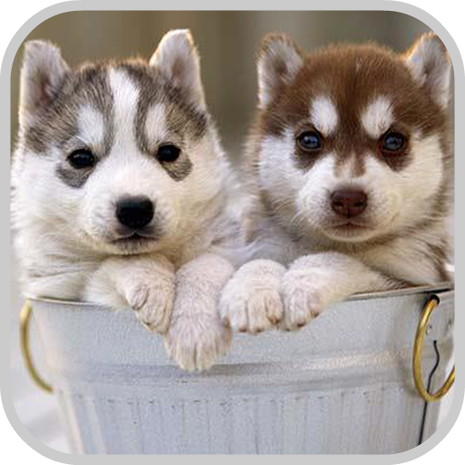 Siberian Husky Puzzle Game