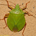 Shield/Stinkbug