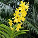 Yellow Vanda Hybrid
