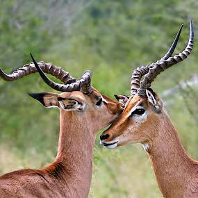 The Secret by Pieter J de Villiers - Animals Other Mammals ( mammals, animals, horns, kruger national park, impala, impala-rams, south-africa,  )