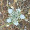 Field Fennelflower (Νιγκέλλα)