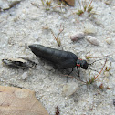 Red-striped Oil Beetle