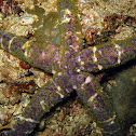 Banded Bubble Star