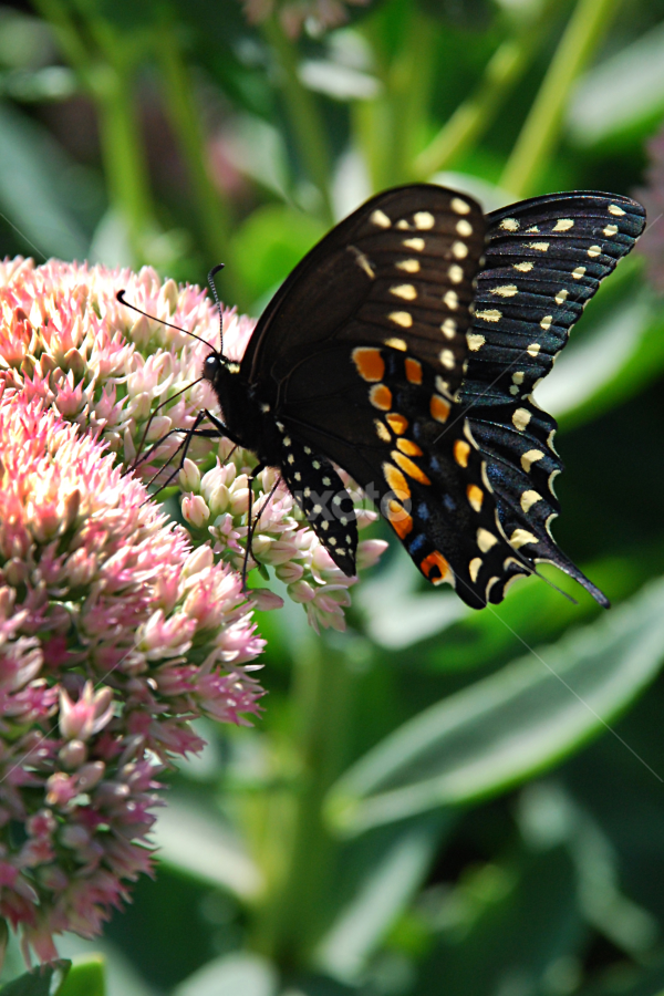 Swallowtail Butterfly by Jane Spencer - Animals Insects & Spiders ( butterfly, sedum, summer, garden, swallowtail,  )