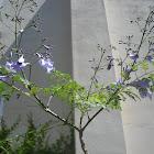 Jacarandá en flor