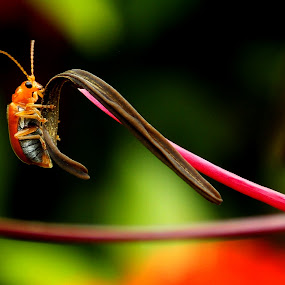 Red Pumpkin Beetle  by Rajen Gogoi - Animals Insects & Spiders (  )