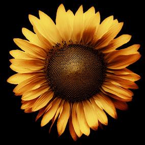 Sunflower by Stephanie Munguia-Wharry - Flowers Single Flower ( sunflower )