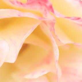 Simple Elegance by Jordin Pierce - Flowers Single Flower ( abstract, rose, macro, nature, color, beautiful, flower )