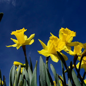 Test water droplets and daffodils 024.JPG