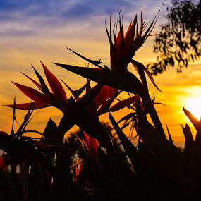 Birds of Paradise at Sunset by Shirley Cohen - Flowers Flowers in the Wild ( serenity, serene, sunset, california, newport beach, bird of paradise )
