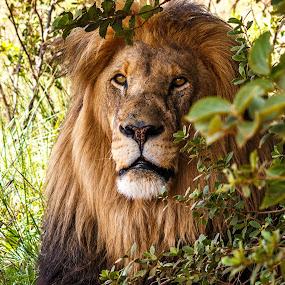 Leo by Hans-Erik Arp - Animals Lions, Tigers & Big Cats ( big cat, pride, lion, african, magaliesberg, south africa, leo, stormsignal, wildlife, big 5 )