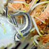 Three-stripe Featherstar Clingfish