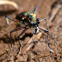 Spotted Tiger Beetle