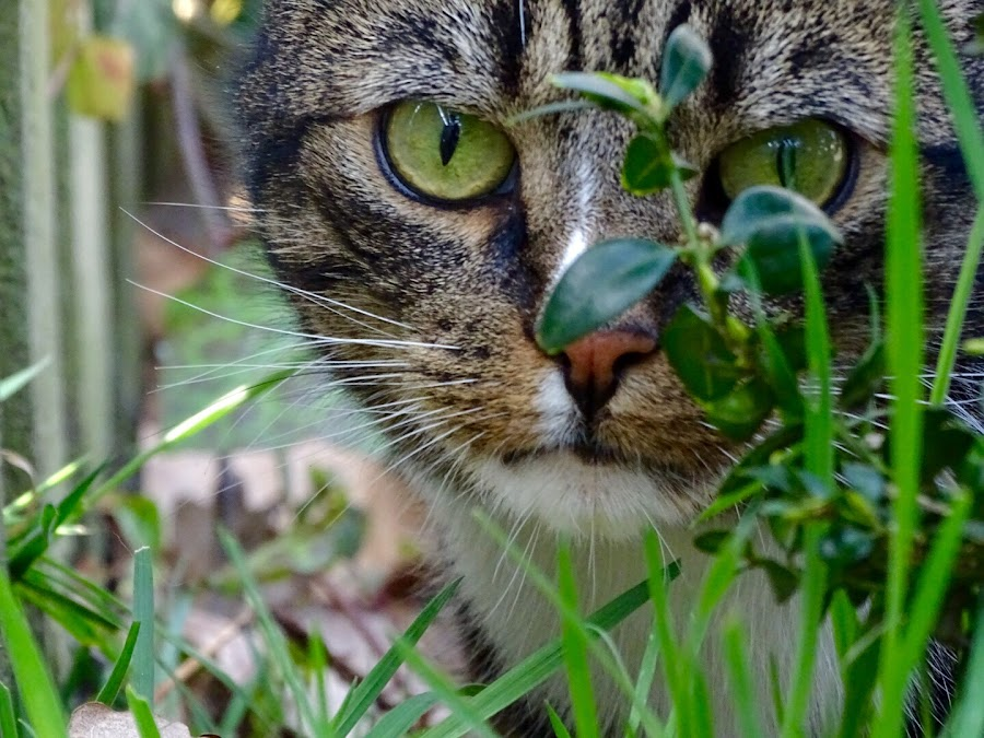 Hunting in the garden  by Joyce Dales - Animals - Cats Portraits