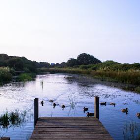 Ducks on Lake by Craig Payne - City,  Street & Park  City Parks ( water, sky, grass, ducks, pier, lake,  )