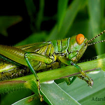 Exploring Grasshoppers of Southern India