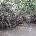Mangrove Plant