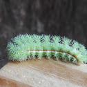 Io moth catapillar