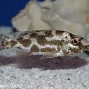 Livingston's Cichlid