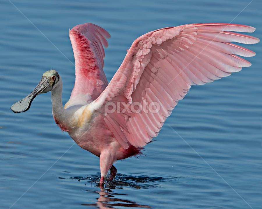 by Shelly Wetzel - Animals Birds ( roseate spoonbill )