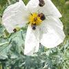 Bumble Flower Beetle