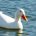 white ducks(Domestic )