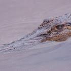 Estuarine (saltwater) crocodile