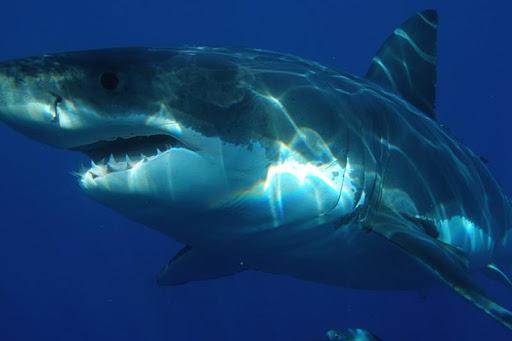 Hungry Evo Shark