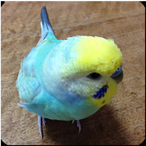 Budgerigar Sounds for Parakeet 教育 App LOGO-硬是要APP