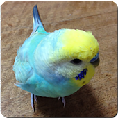 Budgerigar Sounds for Parakeet