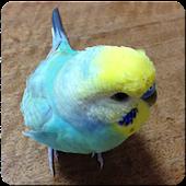 Budgerigar Sounds for Parakeet