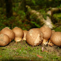 Pear-Shaped Puffball