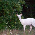 White-tailed deer leucistic variant