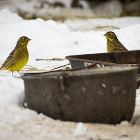 Yellowhammers by Iulia Georgescu - Animals Birds ( countryside, hills, winter, snow, yellowhammer, birds )