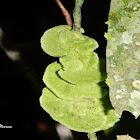 Coenogonium leprieurii