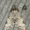 Sphingid Hawk Moth